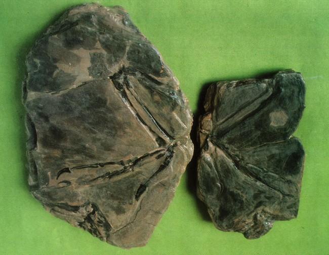 考古見白堊紀鳥類! 北韓官媒:鳥類始祖源起地 | 華視新聞