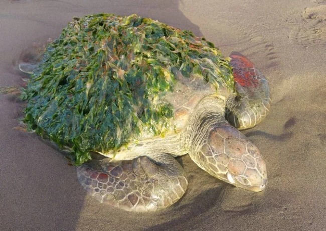 台南綠蠵龜殼布滿海草 狀況虛弱救援成功   華視新聞