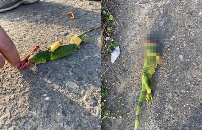 綠鬣蜥被「嘴塞鞭炮」活活炸死 千人怒轟:畜生 | 華視新聞