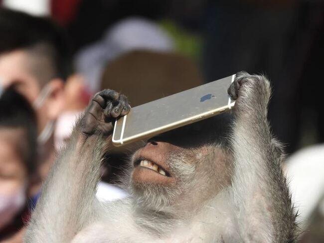 滑手機? 竹市動物園馬來猴撿iPhone當「低頭族」   華視新聞