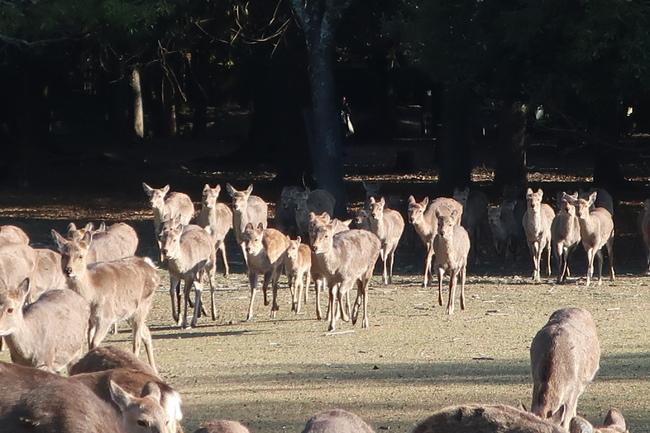 奈良鹿沒遊客餵! 餓到追人啃衣服 | 華視新聞