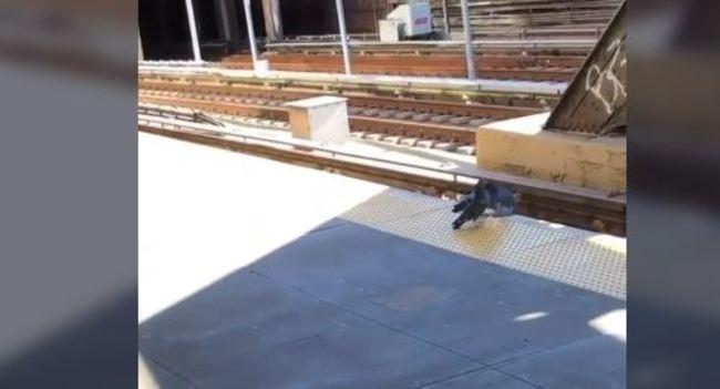 【影】驚悚!鴿子合力圍堵同伴 無情推落火車鐵軌   華視新聞