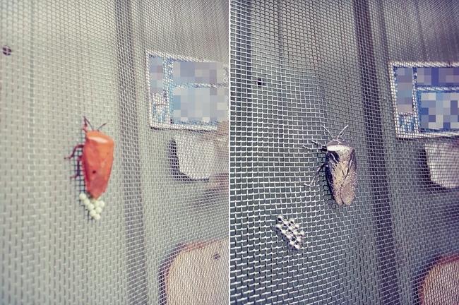 驚見荔枝椿象在紗窗!他心急一動作害蟲竟變「藝術品」 | 華視新聞