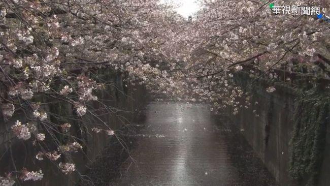 東京櫻花開 提早12天追平去年紀錄   華視新聞