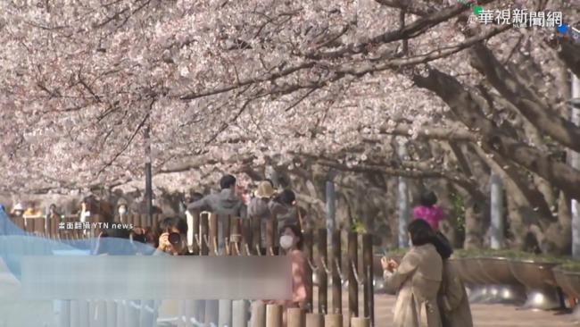 南韓櫻花盛開 遊客蜂擁濟州島朝聖 | 華視新聞