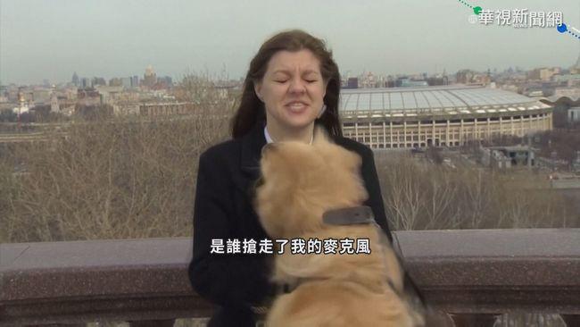 黃金獵犬亂入「偷麥」 主播錯愕忙圓場 | 華視新聞