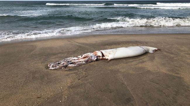 深海大王烏賊頻頻擱淺 日本民眾憂:大地震前兆? | 華視新聞