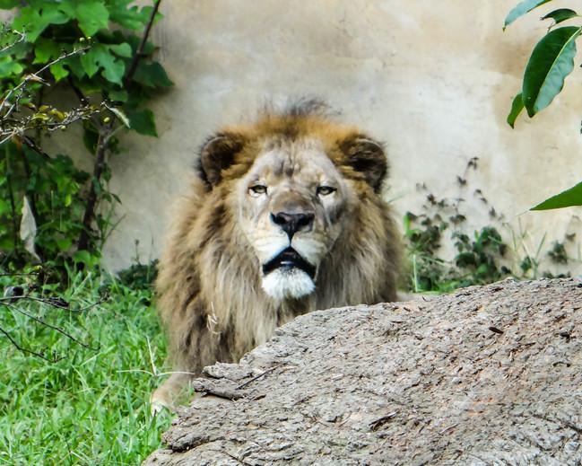 牠低頻吼叫迴盪整園區 動物園解密獨家音響系統 | 華視新聞
