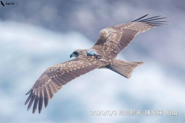 黑鳶候鳥「小茄子」北返 13天飛1800公里   華視新聞