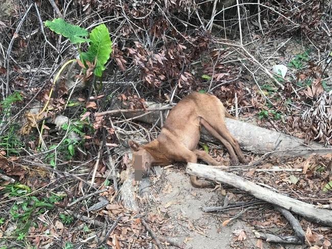 台中東勢山區遭放捕獸鋏 2犬遭困1死1傷   華視新聞