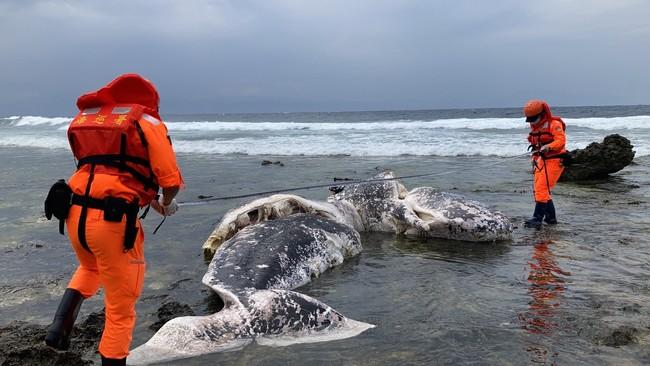 綠島、台東連續發現2死亡鯨魚 保育人員取回研究   華視新聞