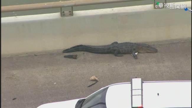 德州鱷魚出沒 佛瑞德哈特曼大橋塞車 | 華視新聞