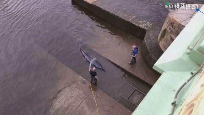 倫敦泰晤士河 搶救擱淺鯨魚大作戰!   華視新聞