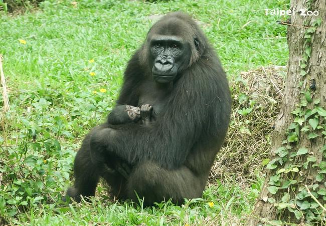 疫情間振奮消息!北市動物園金剛猩猩家族迎新成員 | 華視新聞