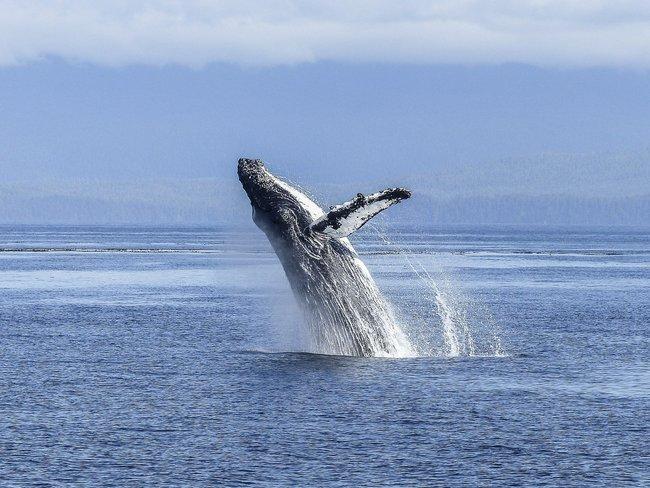 好幸運!他被座頭鯨吞入口中30秒後吐出奇蹟生還   華視新聞