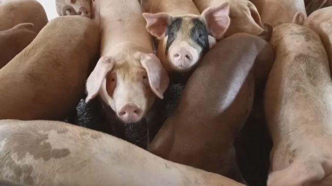 防堵非洲豬瘟!禁用廚餘餵養 彰化跟進 | 華視新聞