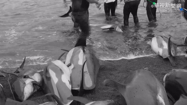 獵捕逾千海豚 法羅群島海灣一片血紅 | 華視新聞