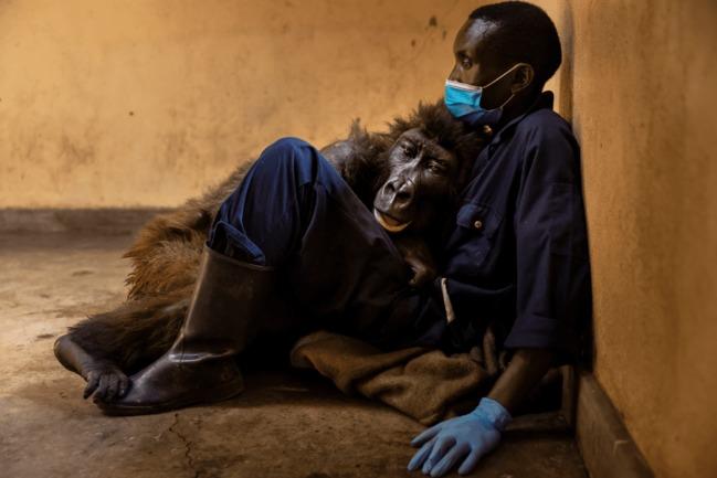 全球最會自拍大猩猩病逝! 最後一幕惹鼻酸 | 華視新聞