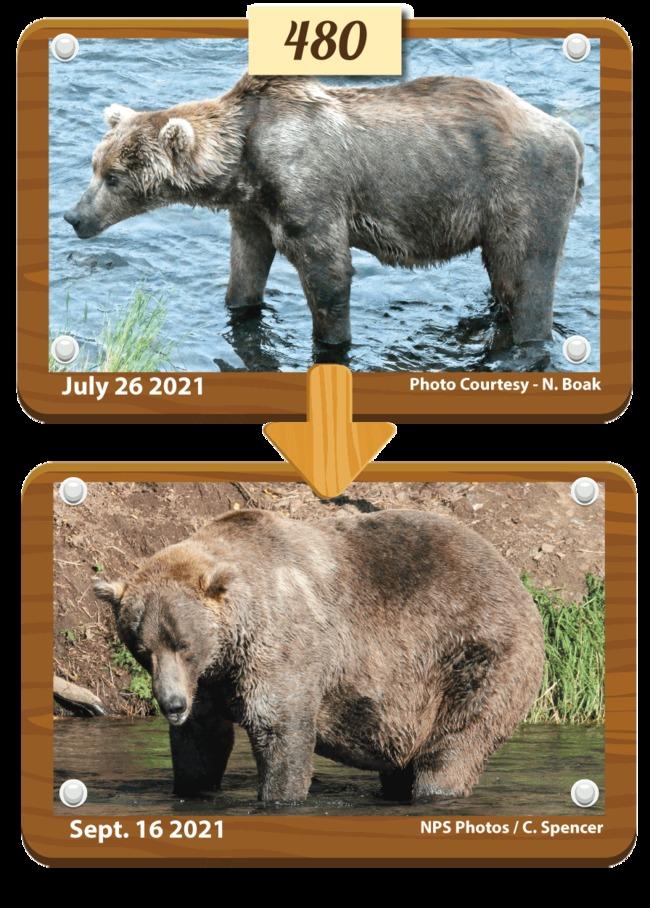 美國肥熊之王出爐!增肥前後對比超驚人   華視新聞