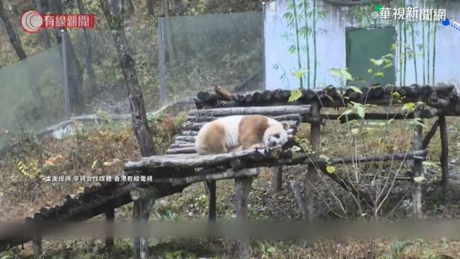 罕見z棕白色貓熊 出沒中國秦嶺一帶   華視新聞